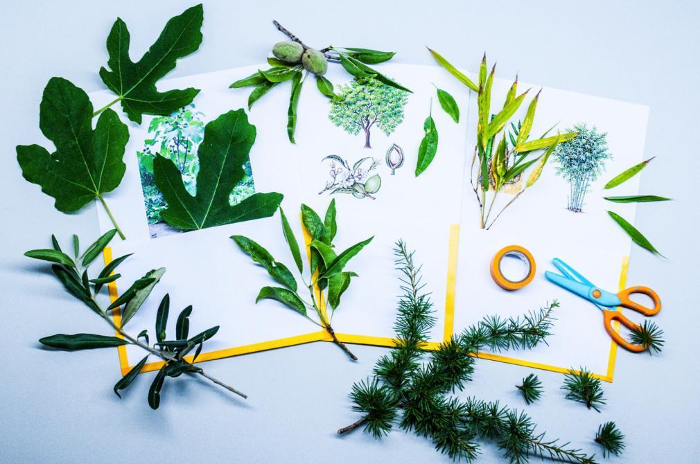 Frunza unui copac: învățăm să deosebim copacii